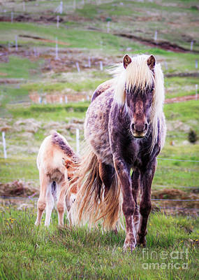 Photograph - Icelandlic Horse And Foal by Silken Photography