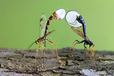 Photograph - Ichneumon Wasps by Mircea Costina Photography