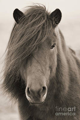 Photograph - Iclelandic Horse Close Up Bw Sepia by Jerry Fornarotto