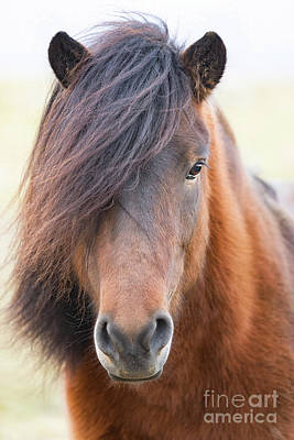 Photograph - Iclelandic Horse Close Up by Jerry Fornarotto