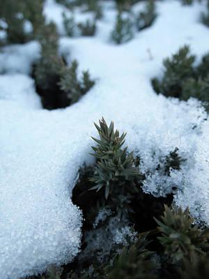 Icy Evergreen Art Print