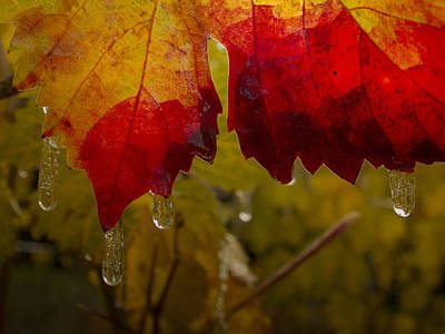 Photograph - Icy Grape Leaves by Jean Noren