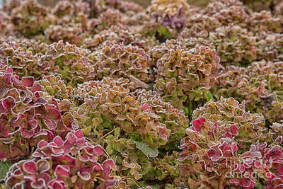 Photograph - Icy Hydrangea Flowers by Patricia Hofmeester