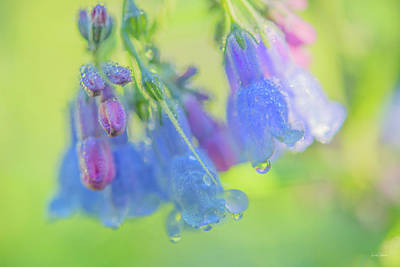 Photograph - Idaho Bluebells Morning Dew by Leland D Howard