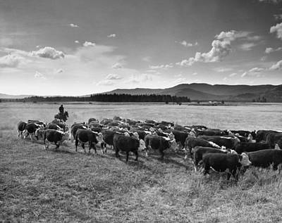 Cattle Drive Photograph - Idaho: Cattle Drive by Granger