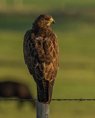 Photograph - Idaho Hawk Watching Sunset by Yeates Photography