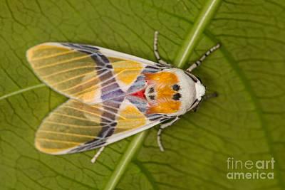 Photograph - Idalus Carinosa Moth by Gabor Pozsgai