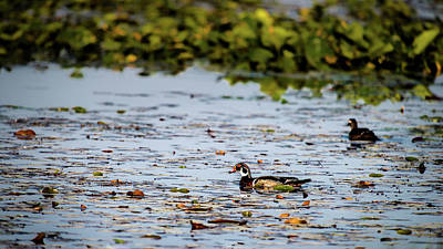 Photograph - If It Looks Like A Wood Duck by Onyonet  Photo Studios