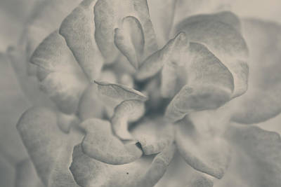Abstract Flowers Photograph - If Love Is Gone Tomorrow by Laurie Search