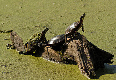 Photograph - If Turtles Could Fly by Shawna Rowe