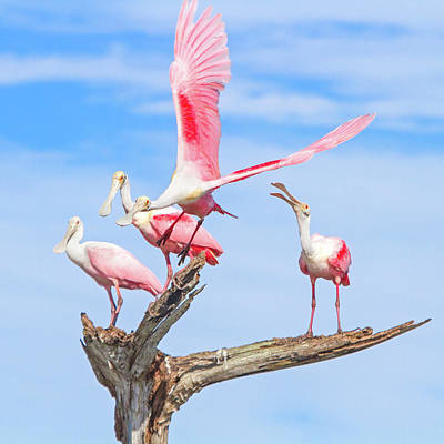 Spoonbill Photograph - If You Had Wings by Mark Andrew Thomas