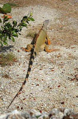 Photograph - Iguana - Key Largo by Frank Mari