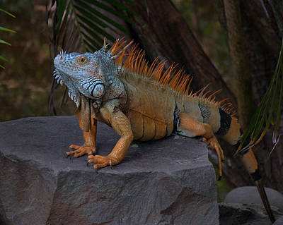 Iguana 2 Art Print by Jim Walls PhotoArtist