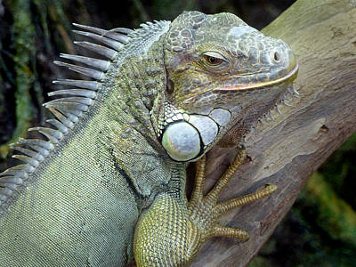 Photograph - Iguana 2 by Jeff Brunton