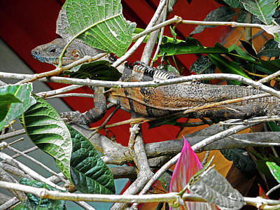 Photograph - Iguana 2 by Ron Kandt
