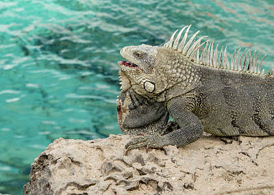Photograph - Iguana 3 by Jean Noren