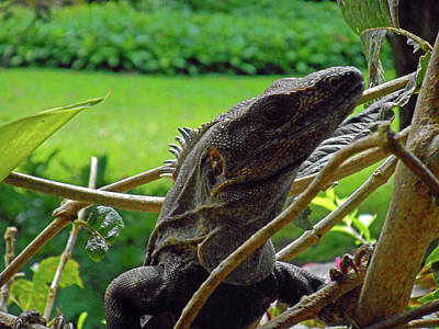 Photograph - Iguana 3 by Ron Kandt