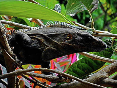 Photograph - Iguana 4 by Ron Kandt
