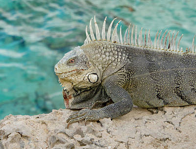Photograph - Iguana 5 by Jean Noren