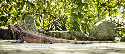 Photograph - Iguana by Alexey Stiop