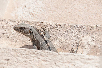 Clouds Royalty Free Images - Iguana at Sian Kaan Biosphere Royalty-Free Image by Carol Ailles