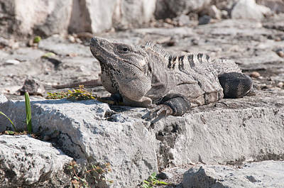 Digital Art - Iguana At Tulum Ruins by Carol Ailles