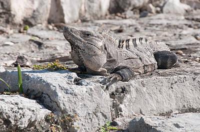 Digital Art - Iguana At Tulum Ruins by Carol Ailles