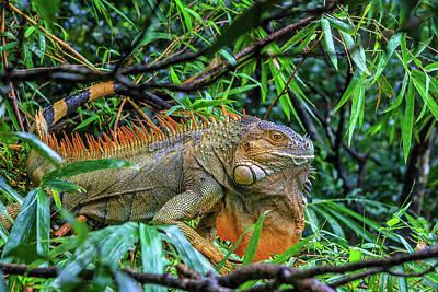 Photograph - Iguana Awaits Breakfast by Menachem Ganon