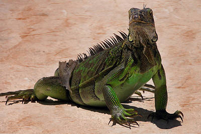 Photograph - Iguana by Bibi Rojas