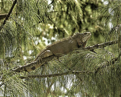 Photograph - Iguana Black Gold by Bill Swartwout