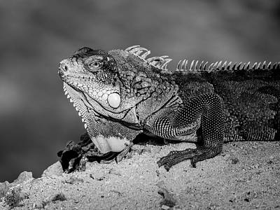 Photograph - Iguana Bw by Jean Noren
