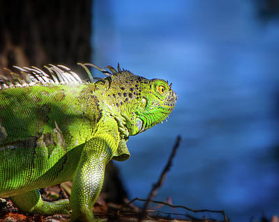 Photograph - Iguana By The Water by Mark Andrew Thomas