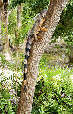 Photograph - Iguana Climbing Tree by Bob Slitzan
