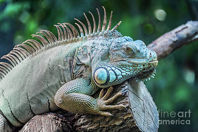 Reptiles Royalty-Free and Rights-Managed Images - Iguana by Delphimages Photo Creations