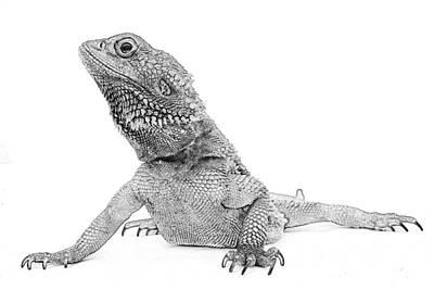 Salamanders Digital Art - Iguana Drawing by PixBreak Art