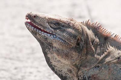 Digital Art - Iguana In Cancun  by Carol Ailles