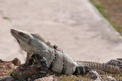 Digital Art - Iguana In Uxmal by Carol Ailles