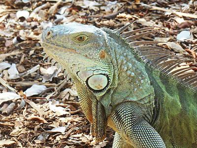 Photograph - Iguana  by Irina Sztukowski
