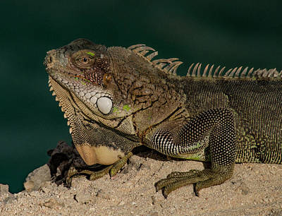 Photograph - Iguana by Jean Noren