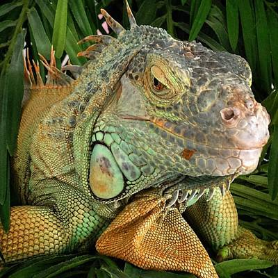 Animals Photograph - Iguana, #juansilvaphotos #jmsilva59 by Juan Silva