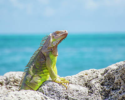 Photograph - Iguana by Manuel Lopez