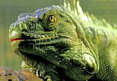 Photograph - Iguana by Miroslava Jurcik