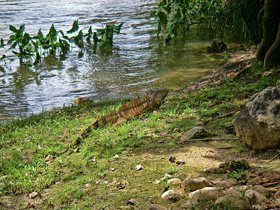 Photograph - Iguana On A River In Belize by Waterdancer