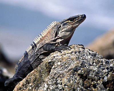 Art Print featuring the photograph Iguana by Sally Weigand