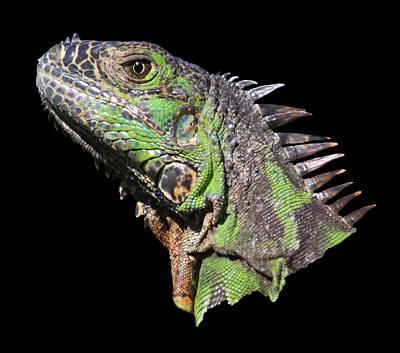 Photograph - Iguana by Shane Bechler