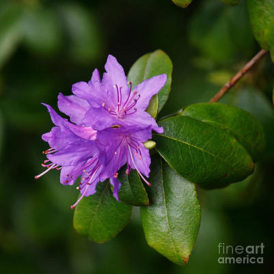 Photograph - Ilam Violet by Chris Anderson