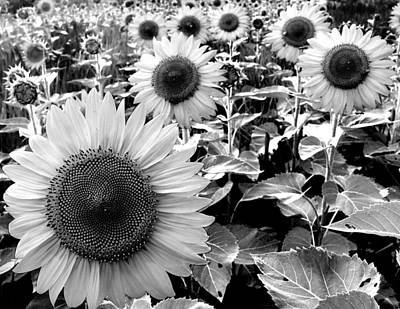 Illinois Sunflowers Photograph By Todd Fox