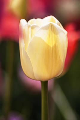 Photograph - Illuminated White Tulip by Vishwanath Bhat