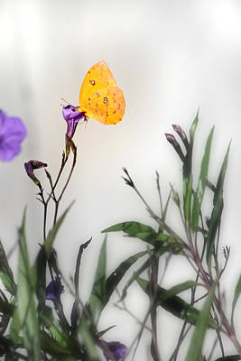 Photograph - Illusive Butterfly by Joseph G Holland