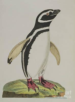 Penguin Painting - Illustration Of A Penguin by John Frederick Miller